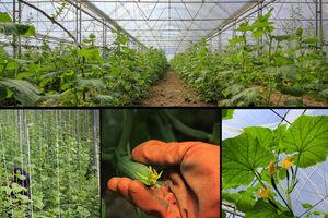 محصول گلخانهای