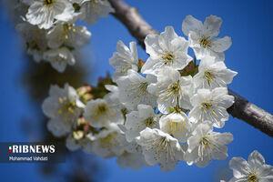 عکس/ شکوفههای بهاری قم