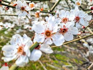 عکس/ شکوفه زدن درختان در شیراز و لرستان