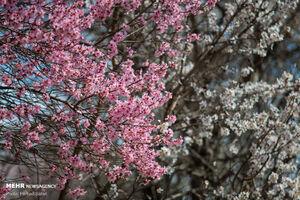 تصاویر دیدنی از شکوفههای بهاری در قزوین