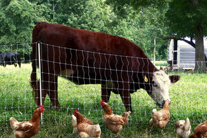 مرغ پایش را جای پای گاو گذاشت/ هر کیلو ۴۰هزار تومان ناقابل