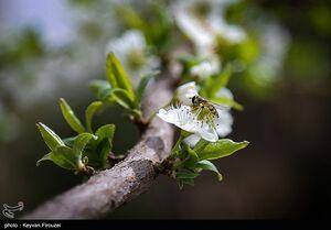 عکس/ شکوفههای بهاری زیبا در سنندج