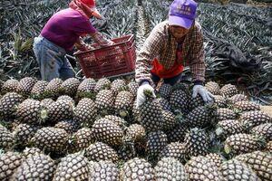 تصاویری جالب از برداشت آناناس