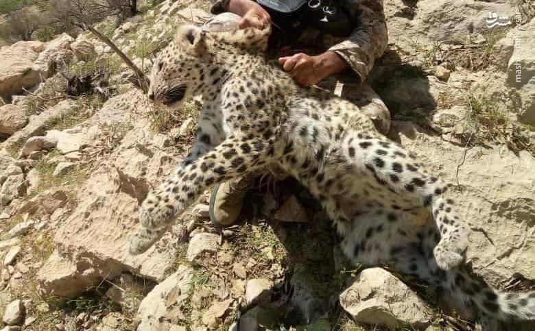 قتل یک قلاده پلنگ توسط تیغتشی! +فیلم