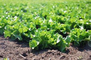 مصرف سبزیجات پهن برگ سبز برای تقویت عضلات ضروری است