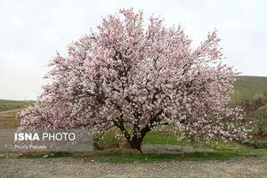 تصاویر زیبا از شکوفههای بهاری همدان