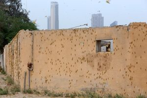 عکس/ هجوم ملخها به کویت