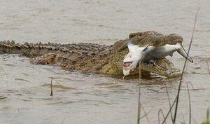 لحظه شکار گاوکوسه توسط تمساح نیل