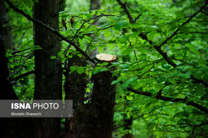 عکس/ قطع درختان جنگلهای هیرکانی