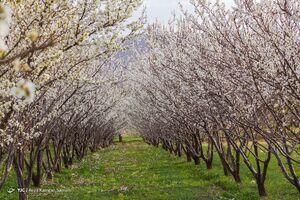 عکس/ شکوفههای زیبای بهاری