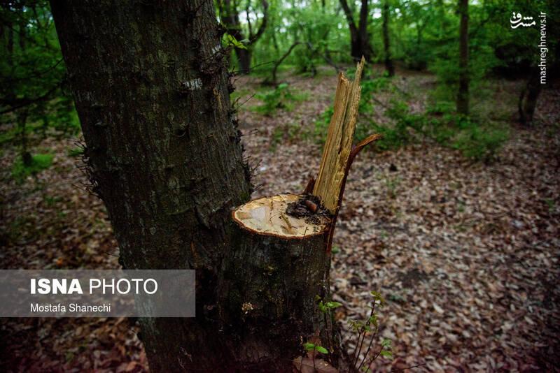 دستبرد مافیای چوب به جنگلهای هیرکانی