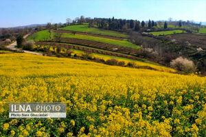 عکس/ چشم انداز زیبای مزارع کلزا