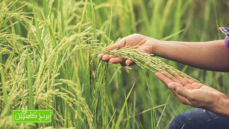 آشنایی با انواع برنج فریدونکنار