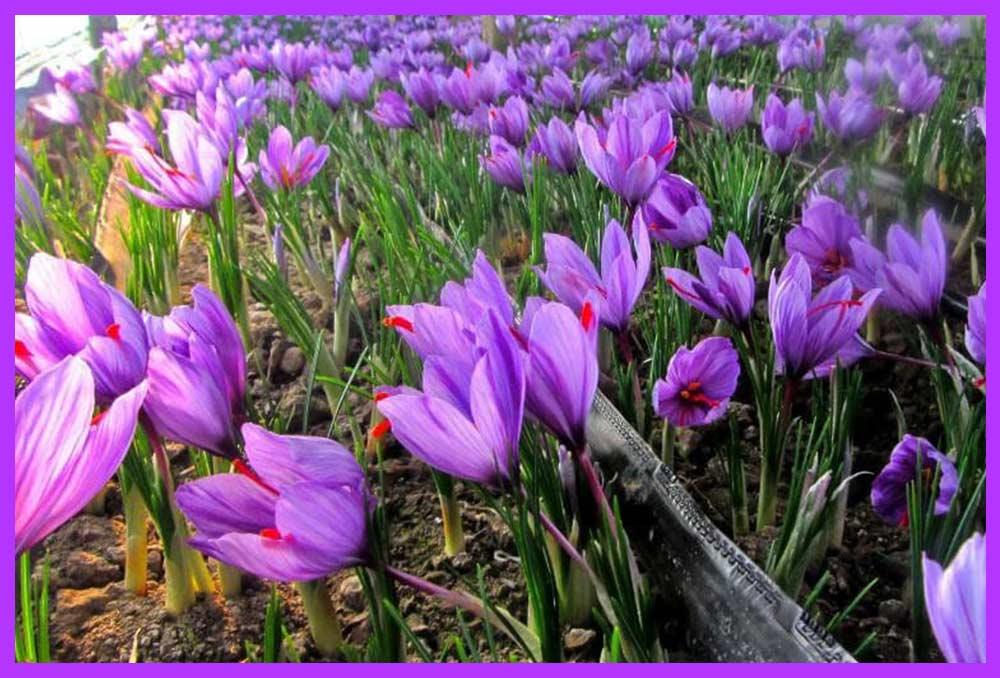 افزایش درآمد کاشت زعفران با ۳ راهکار تضمینی