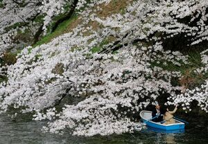 عکس/ قایقرانی زیر شکوفههای گیلاس