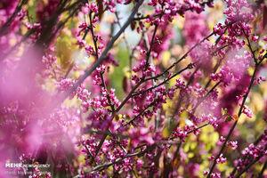 عکس/ شکوفههای بهاری در پایتخت