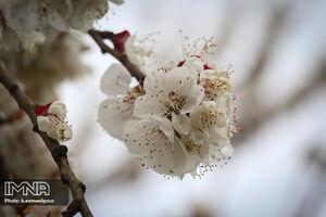 عکس/ شکوفههای بهاری در تبریز