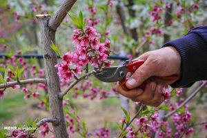 عکس/ بهار پر تلاش باغداران