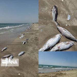 عکس/ مرگ گربه ماهیها در ساحل جاسک