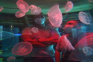 عکس/ تماشای شکوه چتر دریایی