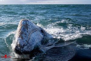 عکس/ تماشای نهنگ در مکزیک