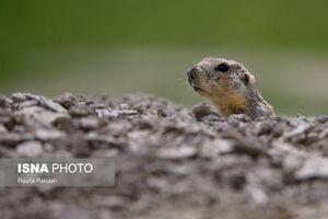 عکس/ سنجاب «زمینی» را دیدهاید؟