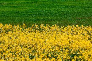 تصاویر زیبا از مزارع دانههای روغنی کلزا