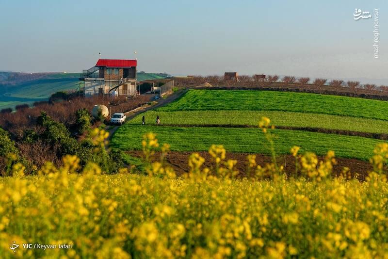 3102591 - تصاویر زیبا از مزارع دانههای روغنی کلزا