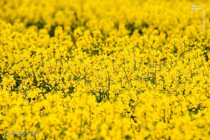 3102593 - تصاویر زیبا از مزارع دانههای روغنی کلزا