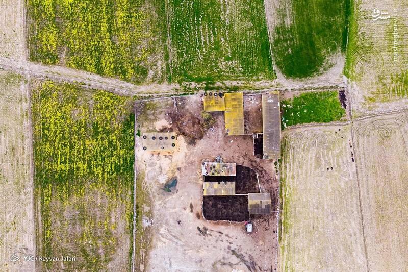 3102594 - تصاویر زیبا از مزارع دانههای روغنی کلزا