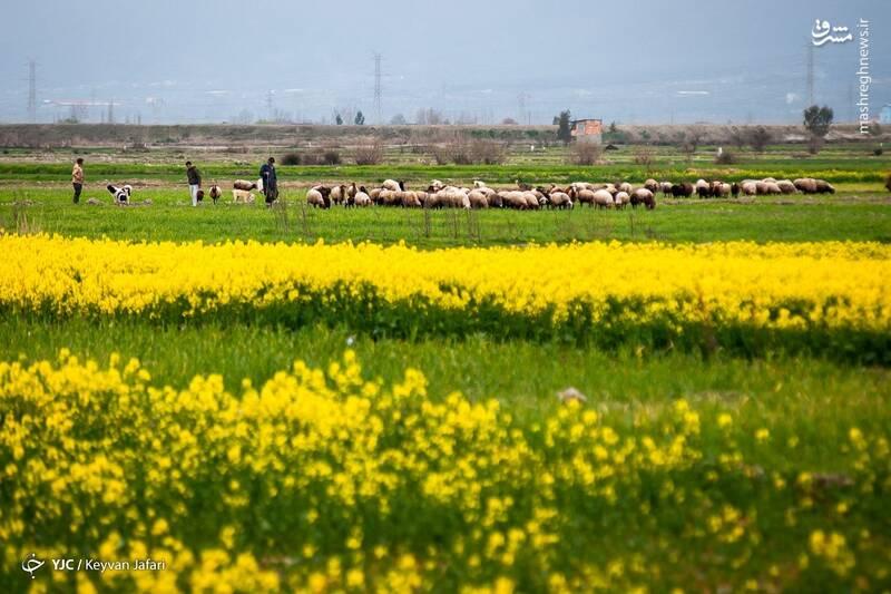 3102595 - تصاویر زیبا از مزارع دانههای روغنی کلزا