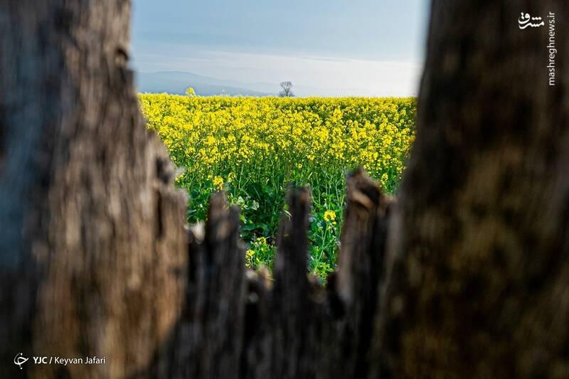 3102596 - تصاویر زیبا از مزارع دانههای روغنی کلزا