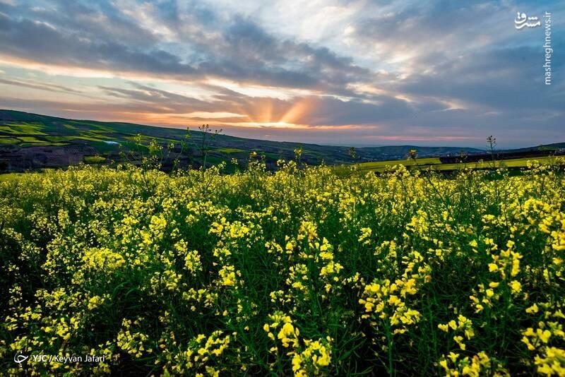 3102598 - تصاویر زیبا از مزارع دانههای روغنی کلزا