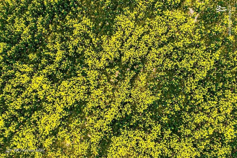 3102599 - تصاویر زیبا از مزارع دانههای روغنی کلزا