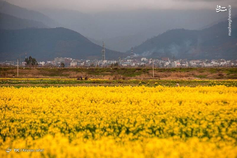 3102600 - تصاویر زیبا از مزارع دانههای روغنی کلزا
