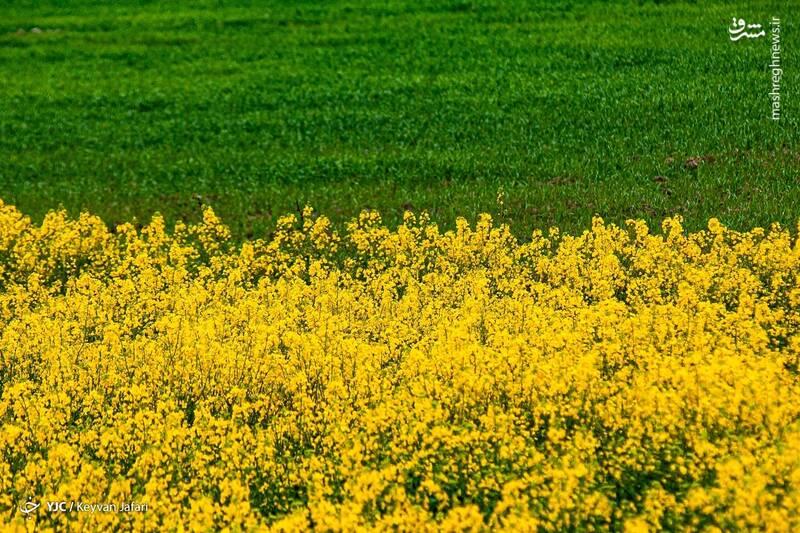 3102602 - تصاویر زیبا از مزارع دانههای روغنی کلزا