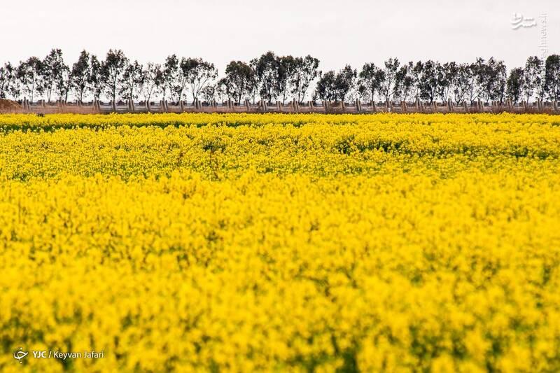 3102603 - تصاویر زیبا از مزارع دانههای روغنی کلزا