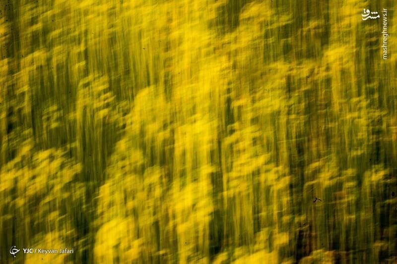 3102604 - تصاویر زیبا از مزارع دانههای روغنی کلزا