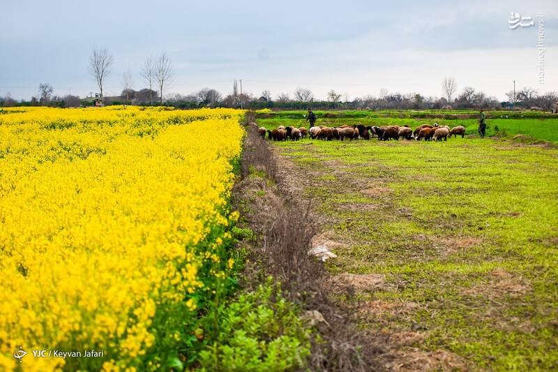 3102606 - تصاویر زیبا از مزارع دانههای روغنی کلزا