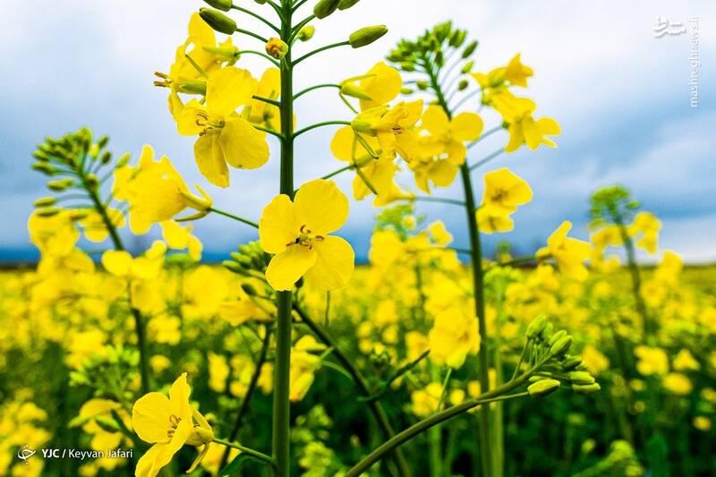 3102608 - تصاویر زیبا از مزارع دانههای روغنی کلزا