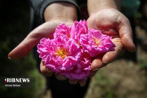 برداشت گل محمدی و گلابگیری سنتی در زابل