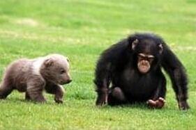 تصاویر| دوستی خرس و شامپانزه - کراپشده