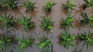 آبگرفتگی مزارع موز در برزیل