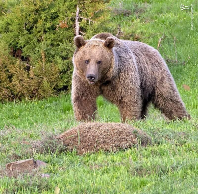 جنبوجوش خرس قهوهای در ارتفاعات مرزی سمنان و مازندران +عکس