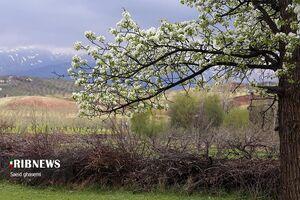 عکس/ شکوفههای گلابی را دیدهاید؟