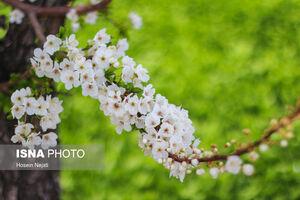 تصاویر دیدنی از شکوفههای بهاری آذربایجان شرقی