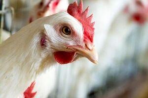 شیوع آنفلوانزای مرغی H۵N۶ در چین - کراپشده