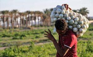 وظیفه دیپلماتها در قبال ۵۰۰ هزار تن پیاز مانده رو دست کشاورزان
