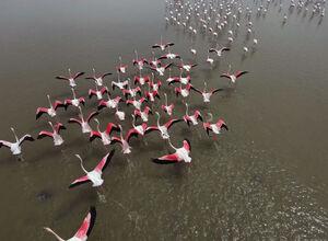 عکس/ پرواز فلامینگوهای مهاجر