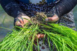 عکس/ اولین نشاء دستی برنج در بهار ۱۴۰۰